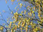 Allergikern droht Pollenexplosion