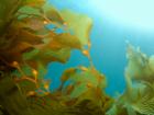 Algen für die Nasennebenhöhlen