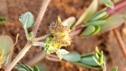 Sanfter Viagra-Ersatz: Gibt es pflanzliche Alternativen?