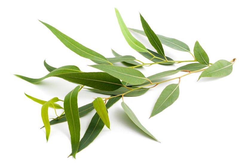 eukalyptus heilpflanze f r die atemwege. Black Bedroom Furniture Sets. Home Design Ideas