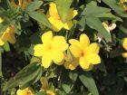 Gelsemium – Gelber Jasmin für Nerven und Psyche