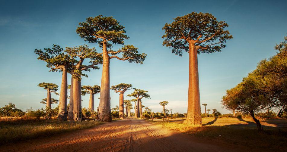 baobab so gesund sind pulver l kapseln. Black Bedroom Furniture Sets. Home Design Ideas
