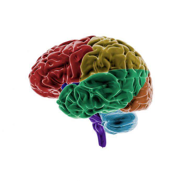 Das Gehirn • Aufbau & Funktionen der Gehirnhälften