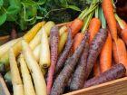 Sind Karotten wirklich so gut für die Augen?