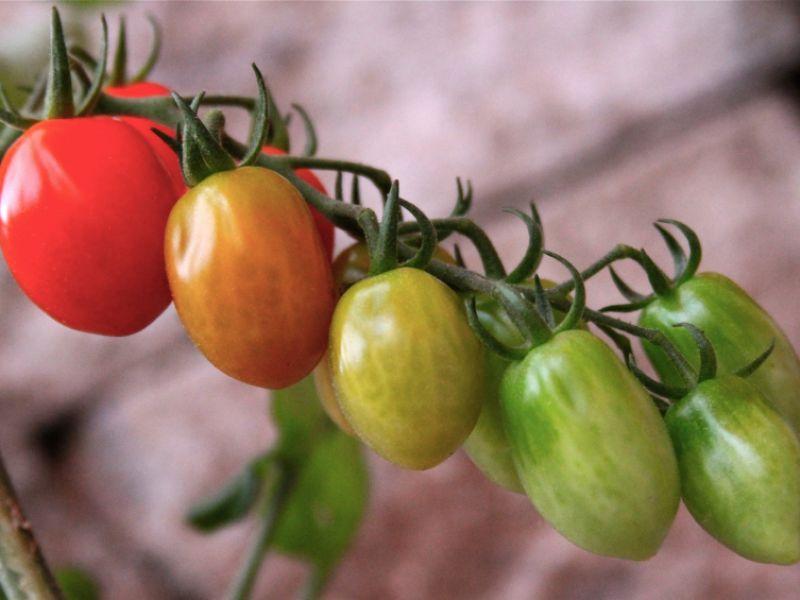 Unreife Tomaten sind giftig
