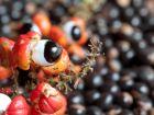 Guarana – Wirkung, Dosierung, Nebenwirkungen