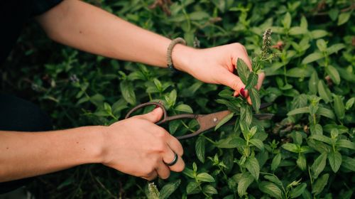 Edible wild herbs from meadows, forests and fields