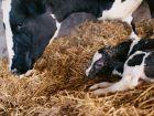 Kuh-Erstmilch soll Krankheiten lindern