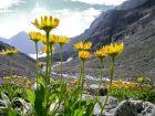 Arnica: Gelbe Bergschönheit gegen Prellungen und Co.
