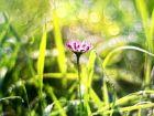 Bellis perennis: Das Gänseblümchen in der Homöopathie