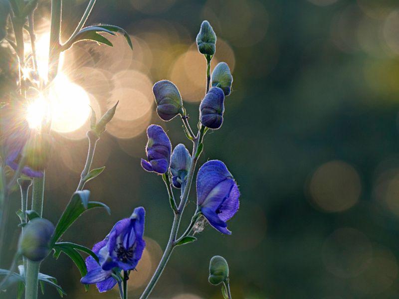 Aconitum (Blauer Eisenhut) gegen Tinnitus