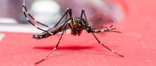 aedes aegypti mit zika-virus