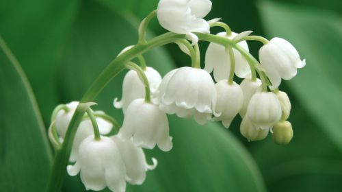 The most important poisonous plants in the garden