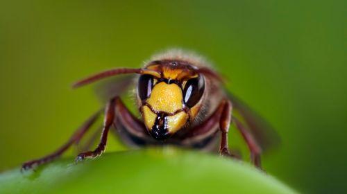 Zehn Hausmittel zum Schutz vor Wespen