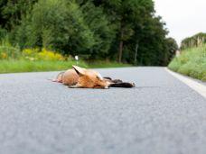 Wildunfall: Verletzte Tiere besser nicht anfassen