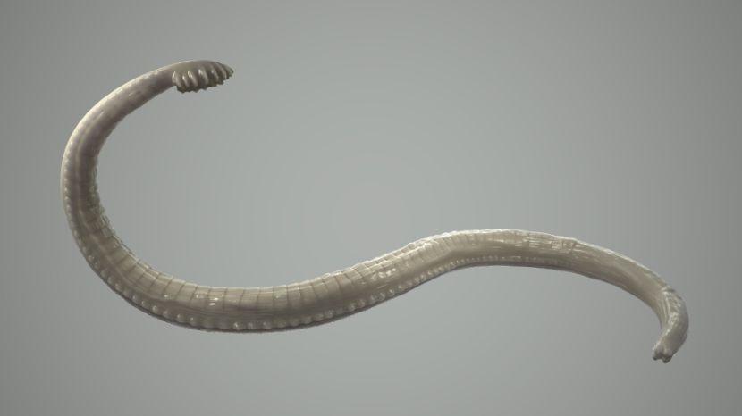 Die Würmer und das Hämoglobin