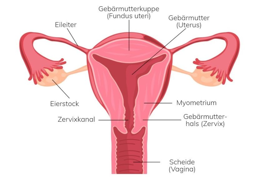 Frau scheide anatomie Category:Vaginal use